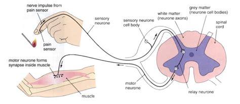 diagram of reflex arc pre nursing entrance teas the reflex arc