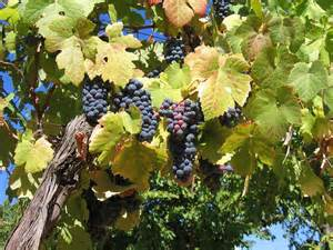 preventing problems in grapes how to treat common