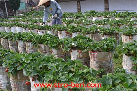 Biji Benih Bibit Tanaman Bunga Mini Pupuk Blender Durian menanam stroberi stroberi olahan stroberi buah stroberi