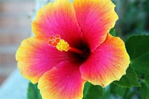fiore d fiore di ibisco significato fiori caratteristiche dei
