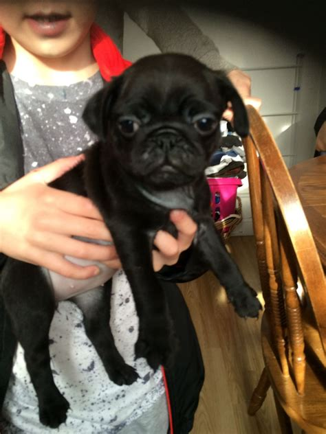 pugs for sale brighton black pug for sale brighton east sussex pets4homes