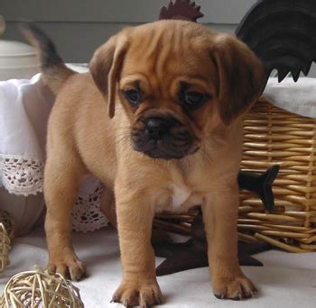 puggle puppies for sale puggle puppy pugs puggles puggle puppies and puppys