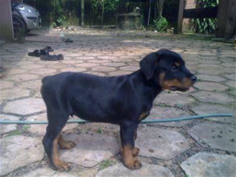 rottweiler growth chart rottweiler puppy growth chart average puppy weights breeds picture