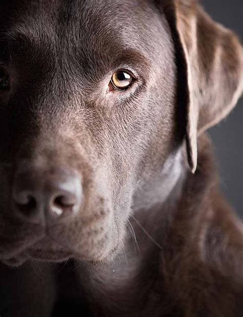 Labrador Blue Black Plus Ikat by Best 25 Chocolate Labs Ideas On Chocolate