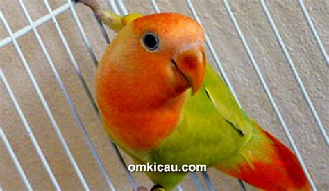 Krodong Lovebird Bukan Murai mengatasi lovebird yang sering naik turun tangkringan ngelantai klub burung