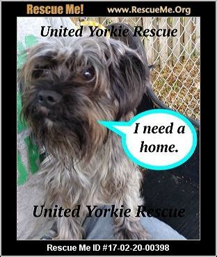 yorkie rescue orange county florida yorkie rescue adoptions rescueme org