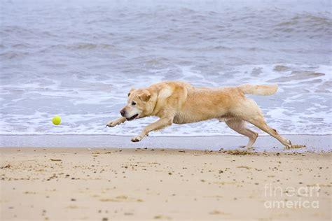 Uk Home Decor Blogs labrador dog chasing ball on beach photograph by geoff du feu