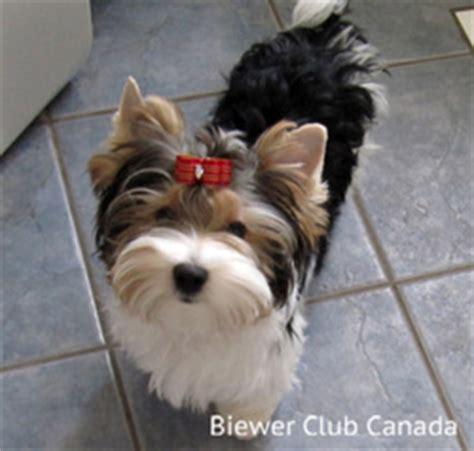 biewer yorkie canada biewer club canada canada s exclusive biewer breed club bcc