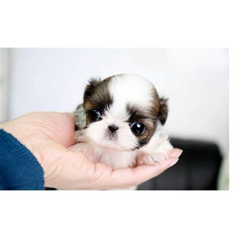 tea cup shih tzu puppies teacup shih tzu adorable pets