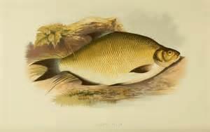 freshwater fish freshwater fish bream freshwater bream on lure 2017