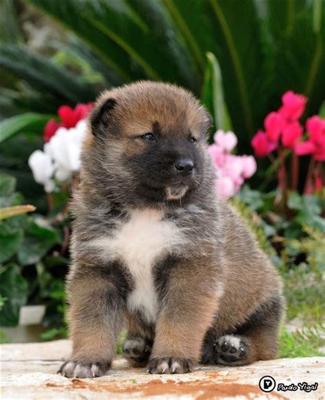 shikoku puppies 16 best images about shikoku on doggies japanese spitz and islands