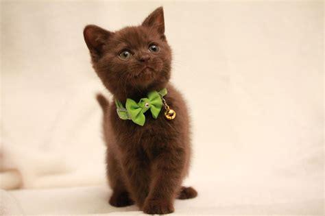 GCCF registered chocolate British shorthair kitten