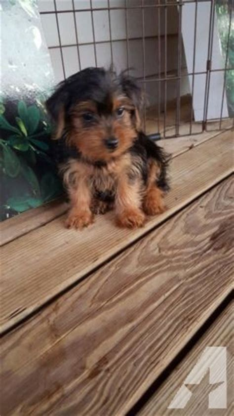 yorkie puppies for sale in greenville nc terrier hypoallergenic does not shed for sale in greenville