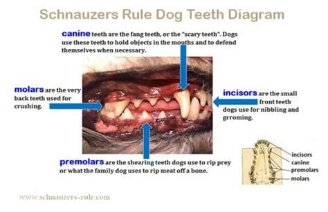 age puppies lose teeth teeth diagram problems