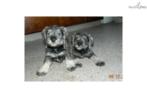 miniature schnauzer puppies for sale in indiana schnauzer boy in northeast indiana schnauzer miniature puppy for sale near