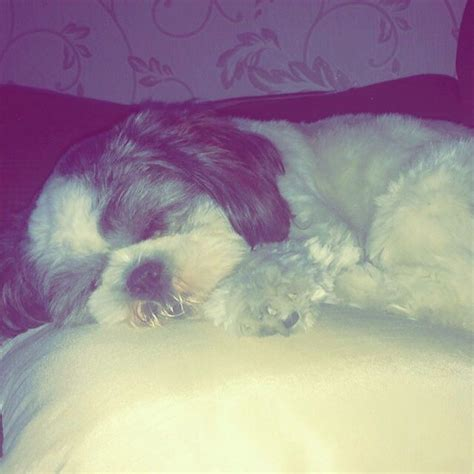 shih tzu wanted shih tzu stud wanted liverpool merseyside pets4homes