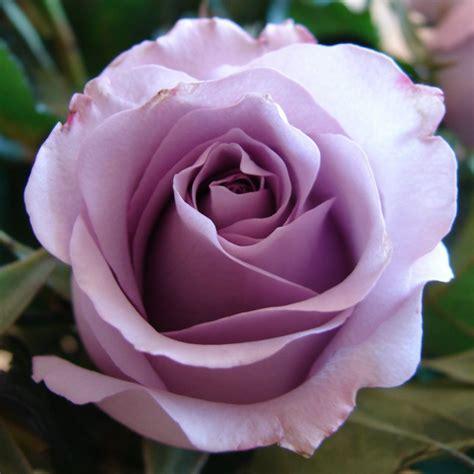 imagenes rosas hd rosa violeta hd im 225 genes y fotos