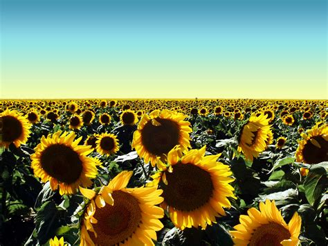 Flower Sun 1 st s florist and gift baskets perth sunflowers are stocked by st s florist and gift