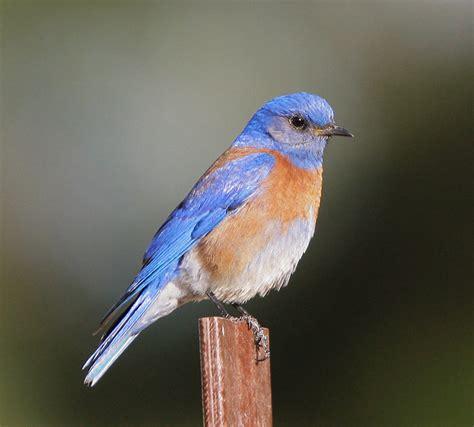 western bluebird mount san jacinto natural history