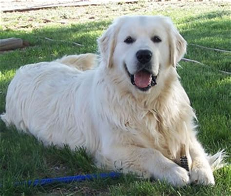 white golden retriever rescue colorado great pyrenees rescue community what s that big white