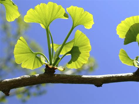best ginkgo biloba supplements top 10 ginkgo biloba supplements