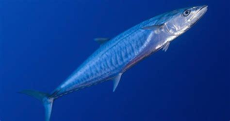 Pancing Ikan Gabus cara cara mancing ikan tenggiri