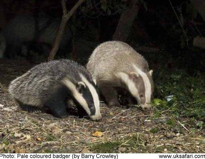 albino leucistic  erythristic badgers uk safari