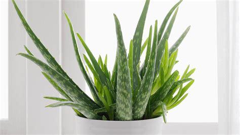 Aloe Vera Plante by L Alo 233 Vera Une Plante Aux 1001 Vertus Au Comptoir Du