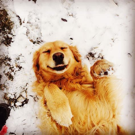 golden retriever in the snow my golden retriever enjoying the snow aww