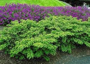 Best Ground Cover For Shade Grobe S Nursery And Garden Centre Evergreens4