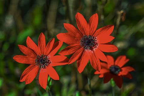 anemone flower meaning anemone flower meaning flower meaning