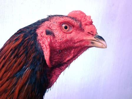 Mata Ayam melihat kualitas ayam bangkok dari matanya