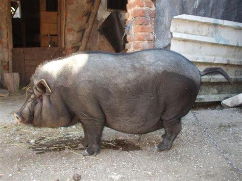 vijetnamske svinje poljoprivredni oglasnik mali oglasi