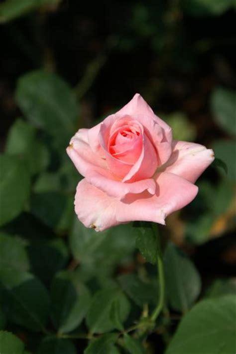Light Pink Roshes by 002 Light Pink
