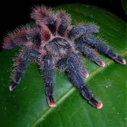 avicularia braunshauseni goliath pinktoe tarantula