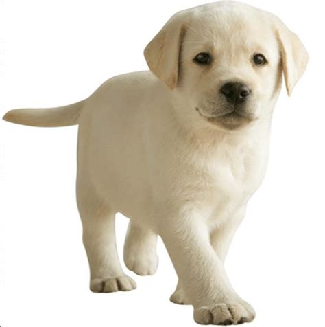 cottonelle puppy realistic cottonelle paper product tv mascot plush doll figure yellow lab ebay