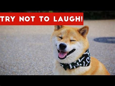 try not to laugh dogs try not to laugh at this compilation pet