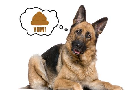 why do puppies your why do dogs eat their does your german shepherd eat his german shepherd