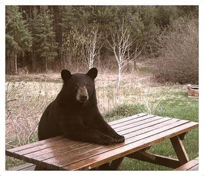 Bear At Picnic Table Meme - 17 best images about bears on pinterest virginia good times and picnics