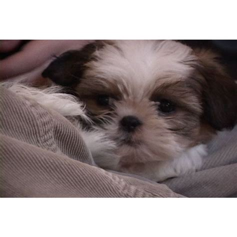 puppies for sale mn puppies for sale shih tzu shih tzus f category in