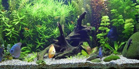 mitos tentang memelihara ikan  akuarium merdekacom