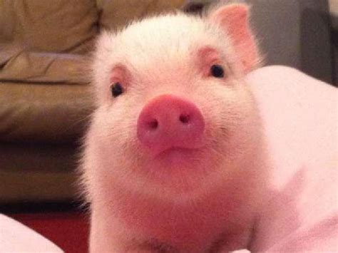 6 this pink baby pig says hello and the other pig in