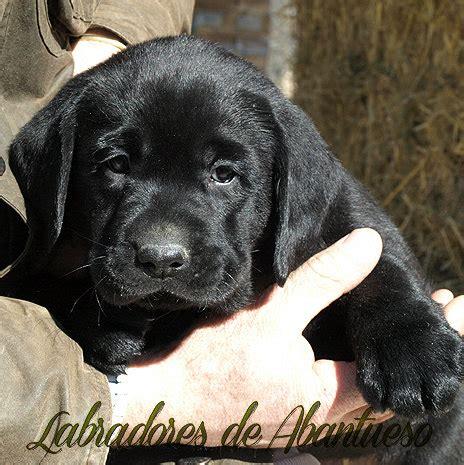 imagenes labrador negro labrador retriever criadero de labrador retriever madrid