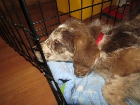 crate a puppy overnight crate your puppy aussiedoodle and labradoodle puppies best labradoodle