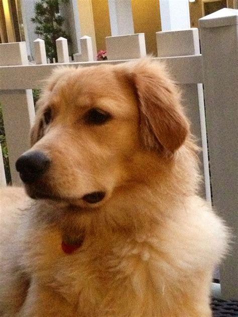 9 month golden retriever 51 best images about golden retriever baileigh on treats