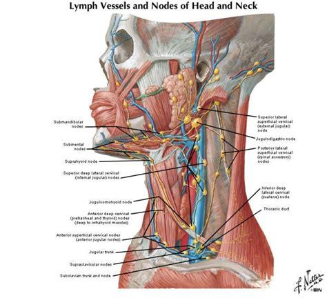Detox Bath Swollen Lymph Nodes by Best 25 Lymph Vessels Ideas On Detox