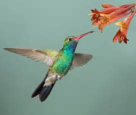 the hovering ability of hummingbirds interrupted by