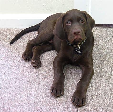 lab puppies az miniature labrador breeds picture