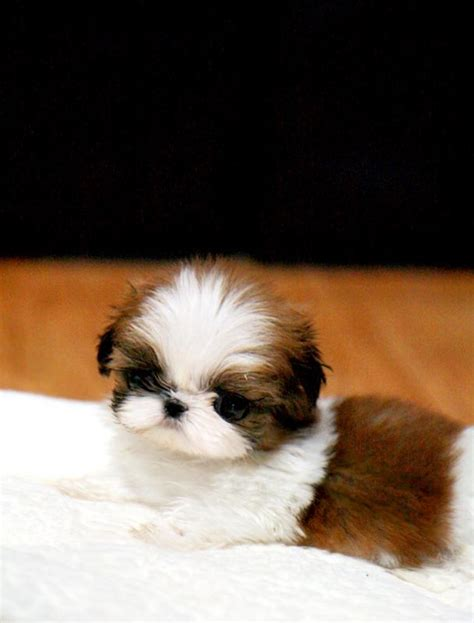 minature shih tzu mini shih tzu doggies mini morris fluffy puppies and i want