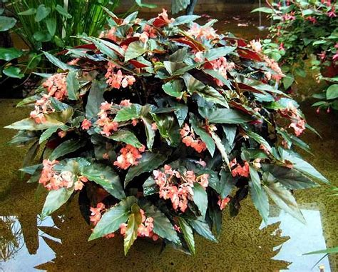Begonia Planters by Plants Flowers 187 Begonia Wing